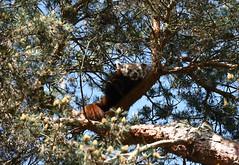 Carson, the Red Panda (zenseas : )) Tags: seattle cute carson washington spring yawn sunny cutie redpanda blueskies woodlandparkzoo ailurusfulgens wpz