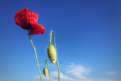 ...made of tissue paper?!?! Red poppy on a blue sky! (-Noemi-) Tags: flowers blue red green primavera colors spring poppy colori redblue papavero