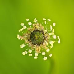talage d'tamines (Denis Vandewalle) Tags: flower macro green nature fleur k5 macrophotography