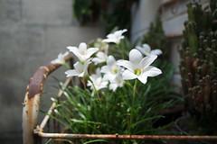 Jasmines (Lentes Clásicos) Tags: jasmine flor samsung jazmin 2050 nx3300