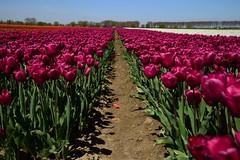 "Tulipa ""Huntsville"" (larry_antwerp) Tags: flower netherlands nederland tulip tulp hulst flowerbulb zandberg"