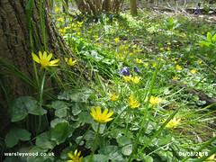 Celandines 01/05/2016 (the_greenman) Tags: bluebells conservation hazel thegreenman wildlifetrust ancientwoodland gransden oxlips waresleywood coppicemanagement wwwwaresleywoodcouk