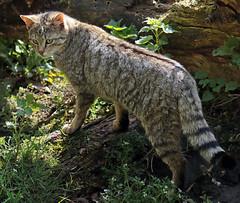 european wild cat Anholt JN6A8695 (j.a.kok) Tags: cat kat wildcat anholt wildekat europeanwildcat europesewoldekat