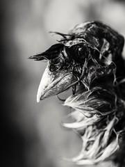The Extinguished Mr Phoenix. (von8itchfisk) Tags: portrait blackandwhite bird nature phoenix fire death deathmask extinguished latebird battisford vonbitchfisk deathie birdselfie