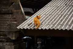 (the.redhead.and.the.wolf) Tags: bali animal cat indonesia temple asia tanahlot