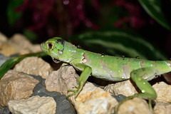 Iguana iguana (Juancho 507) Tags: naturaleza animal nikon outdoor iguana panam reptil 2016 chorrera d5500 dsc0410 juancho507 panamoeste