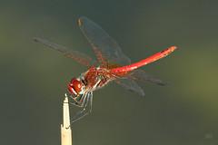 2015_IMG_9457 (niek haak) Tags: dragonflies dragonfly odonata libel sympetrumfonscolombii zwervendeheidelibel