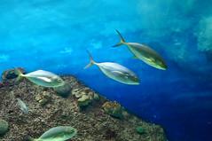 DSC03705 (emmanrog) Tags: peces animales marino acuario