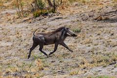 Warzenschwein (Phacochoerus africanus) - Okavango, Namibia (Nov. 2015) (anschieber | niadahoam.de) Tags: 2015 201511 20151115 afrikaafrica caprivi namibia namibia2015 okavangodelta warzenschweinphacochoerusafricanus commonwarthog vlakvark mudumuwarzenschwein