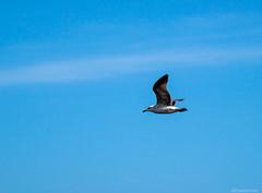 Seagle (@Dpalichorov) Tags: blue sky cloud bird animal fly flying wings nikon eagle bluesky nikond3200 seagle d3200