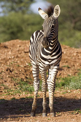 Zebra (Equus quagga) (Kev Gregory (General)) Tags: africa horse mountain game mountains field river private african district south reserve sigma safari guide shaun 50500 plains gregory kev herd harem striped limpopo zebras equus waterberg jenkinson quagga thabazimbi equids marakele marataba dolichohippus grvys motlhabatsi