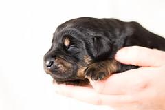 Akiro (Maria Zielonka) Tags: puppy photography mix puppies fotografie shepherd maria indoor german doberman mischling deutscher welpe schferhund dobermann welpen zielonka