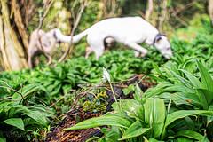 Hunting in the Wild Garlic (Shastajak) Tags: bokeh stanley ramsons wildgarlic hbw dogkeh sqlpronouncedsequel topazglow