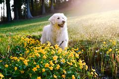 Mogli the Explorer (balu51) Tags: morning flowers dog yellow morninglight spring meadow wiese bach hund gelb dew april brook tau grün tautropfen kuvasz 2016 morgenspaziergang sumpfdotterblumen ungarischerhirtenhund copyrightbybalu51