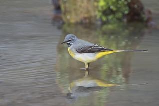 Grey Wagtail (Motacilla cinera)