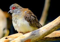 Diamond Dove - Geopelia cuneata (elliott.lani) Tags: nature birds outdoors pigeon dove pigeons flight feathers tathra lani speckled doves allrightsreserved patterned naturephotography ontheperch redeyering elliottlani lanielliott
