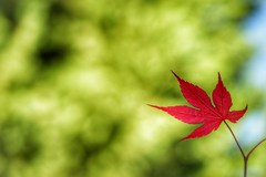 New leaf (JPShen) Tags: new red green one leaf maple alone bokeh only