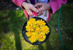 Mud and dandelion pie (trois petits oiseaux) Tags: color kids gold play dandelion imagination create mudpie