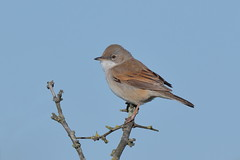 Whitethroat (Hammerchewer) Tags: male bird outdoor wildlife whitethroat