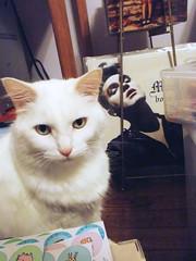 NILLA 0059 (RANCHO COCOA) Tags: cat georgia kitten feline morrissey album vinyl kitty athens record moz nilla turkishangora craftroom bonadrag ranchococoa