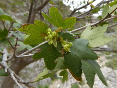 Acer sempervirens L. - Cretan Maple (Peter M Greenwood) Tags: maple acer cretan sempervirens cretanmaple acersempervirens