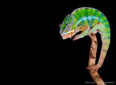 Pascal (Jen St. Louis) Tags: ontario canada studio reptile elmira lizard pascal lowkey chameleon pawprints petportrait petphotography pantherchameleon wwwpawprintsphotosca