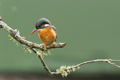 Kingfisher (John Ambler) Tags: fish rain female john branch photographer wildlife beak photographs kingfisher ambler stickleback