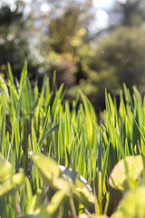 Reeds (AliceWilliamsPhotography) Tags: england plants plant grass canon photography photo spring outdoor depthoffield goldenhour springtime lightroom 550d canon550d