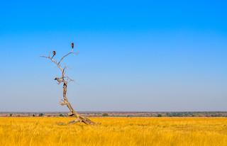 Vultures, Moremi Game Reserve, Botswana