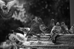 I am flying (jucahelu.jc78) Tags: life costa white black monochrome photography flying am nikon places rica vida palomas pura centroamerica nikonistas i d7200 jucahelu