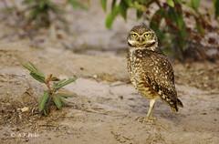 Lechuza de las madrigueras, Lechucita vizcachera, Burrowing Owl (Athene cunicularia).1 (alvarof.polo) Tags: bird nikon pantanal athenecunicularia burrowingowl strigidae lechucitavizcachera lechuzadelasmadrigueras