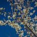 Tree Blossom At Blue Ridge Meadow (Trombatore Trail)