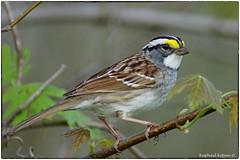 White throated Sparrow (RKop) Tags: ohio armlederpark a77mk2 minolta600mmf4apog raphaelkopanphotography