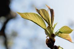 usugasaneooshima_dsc_3073 (takao-bw) Tags: plant japan spring sakura cherrytree