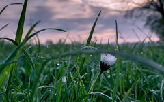 mit der Nase in der Wiese (Florian Grundstein) Tags: flower macro digital bayern feld wiese olympus dandelion ez gras sonnenaufgang morgen zuiko heimat oberpfalz gnseblmchen 1442