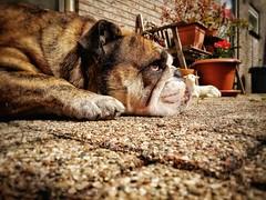 Sunbathing bulldog (J.C. Moyer) Tags: flowers dog pet color colour cute stones bulldog pots lamb englishbulldog britishbulldog