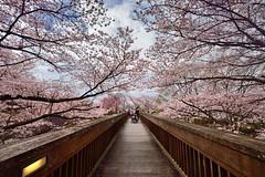 Sakura , ,, (Vincent_Ting) Tags: bridge sky japan cherry landscape temple spring kyoto sunny bluesky cherryblossoms  kansai cherrytree     japantemple  touristdestination      vincentting