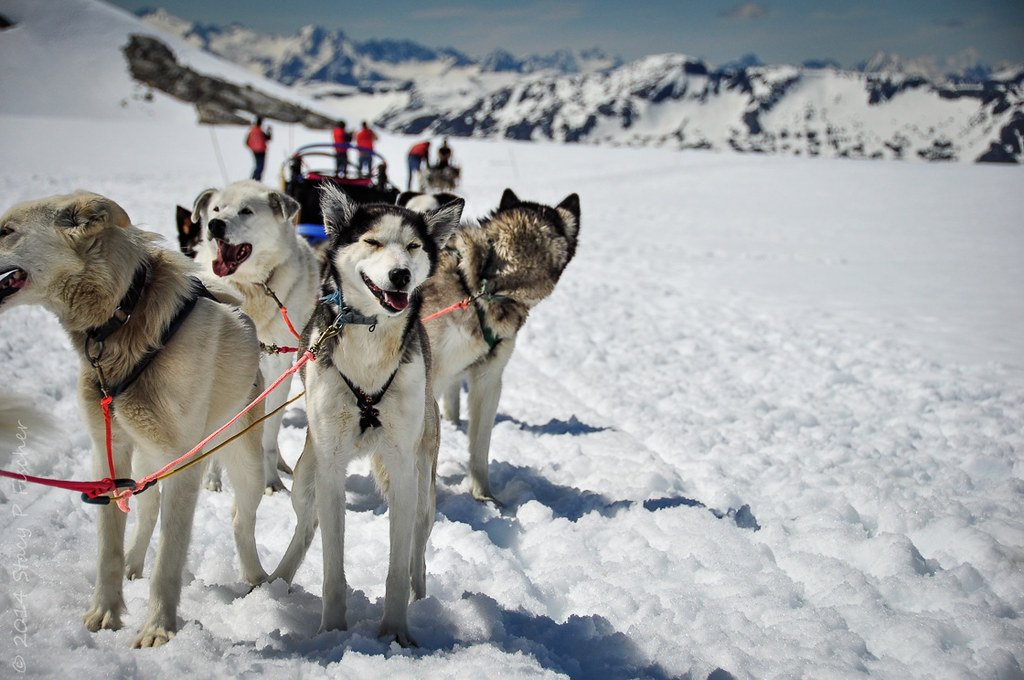 sled-dog-team