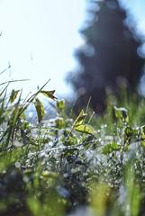 Natural Art (mripp) Tags: leica macro green art nature grass outside 50mm fantastic kunst magic lawn wiese summicron growing grn minor m9 magisch drausen