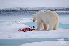 Polar Bear vs Ivory Gulls (fascinationwildlife) Tags: bear wild snow ice nature animal norway mammal wildlife gull natur north ivory arctic pack polar predator spitsbergen br eisbr spitzbergen