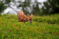 Whitetail Fawn lunching on Maine wild blueberries (Brittamay) Tags: wild nikon maine fawn blueberries whitetail d5000