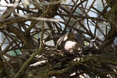 Nesting mourning dove II (@harryshuldman) Tags: bird nature canon eos mourning nest bokeh mark dove mother feather sigma mama telephoto ii 7d markii telefoto 150500mm