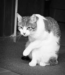 The Glare (Captured by AMK) Tags: blackandwhite cats pets cat feline felines petphotography project365