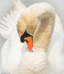 White (Wil Molenkamp) Tags: white swan highkey molenkamp