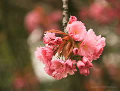 Apr 15: Bokehed Pink Blooming Macro (johan.pipet) Tags: pink flower detail macro tree nature canon garden flickr blossom bokeh jar bloom slovensko slovakia palo strom bartos kvet barto