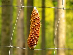 Pine cones in the fence mesh (GerWi) Tags: nature outdoor natur hell pflanze gras makro zaun wald muster tier pinecones tannenzapfen abstrakt schärfentiefe textur minimalismus fotorahmen organischesmuster zaungeflecht wilddraht