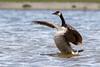 015A4929.jpg (Carolien114) Tags: bird birds vogels ganzen brantacanadensis denhelder birdhide grotecanadesegans greatercanadagoose balgzandpolder schuilhutfotografie