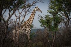 Tranquility (andreas.saladin) Tags: andreas giraffe sdafrika saladin ruhe