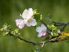 Apfelblüte (- Lythy -) Tags: baum apfel apfelblüte awesomeblossoms apfebaum