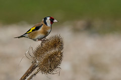 Goldfinch on a Teasel head (Tim Melling) Tags: district south goldfinch yorkshire peak cardueliscarduelis timmelling